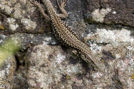 Large adult Wall Lizard Podarcis muralis hanging on old brick wall
