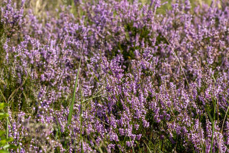 Purple heathland colorful plant background