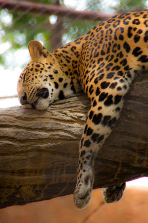 Sleeping leopard photo