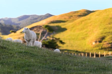 Cheeps profiter de la vie dans le domaine de la campagne en Nouvelle-Zélande