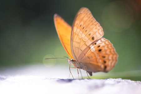Red butterfly (Tawny Rajah, Charaxes bernardus) on road in soft focus