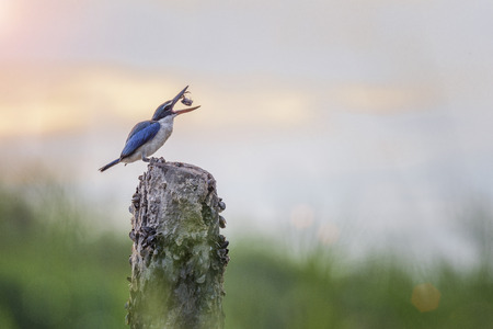 Common kingfisher bird catching and eating fresh crab on old grub in morning Stock Photo