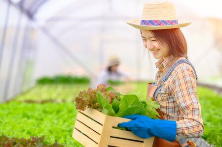 Young woman in takes care of Fresh vegetable Organic in wood style basket prepare serving harvest by a cute pretty girl in hydroponic farm, greenhouse