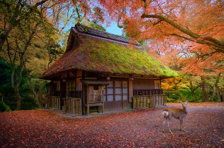Autumn of the season change in Nara town of Osaka prefecture Japan with deer wildlife standing in front of cottage hut vintage house