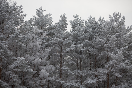 'grandfather frost': The tops of the pine trees covered with snow Stock Photo