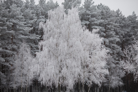 yule tide: beautiful winter forest, beautiful white trees, nature in winter, trees in the snow,trees in hoarfrost,