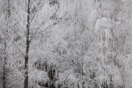 yule tide: beautiful winter forest, beautiful white trees, nature in winter, trees in the snow,trees in hoarfrost, copy space