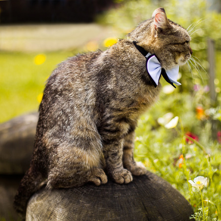 wedding guest: gray cat in bow tie sits on a rock, cat attire, preparing for the wedding, unusual wedding guest Stock Photo