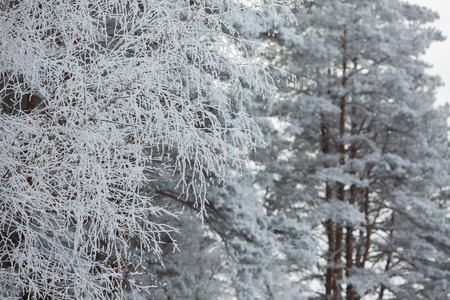 'yule tide': beautiful winter forest, beautiful white trees, nature in winter, trees in the snow,trees in hoarfrost Stock Photo