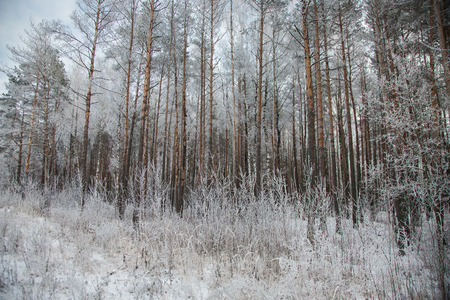 christmas tide: Pine forest in the winter snow, seasons, the beauty of nature, trees in frost, frozen trees, winter park