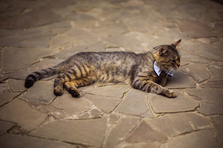 wedding guest: gray cat in bow tie, cat attire, preparing for the wedding, unusual wedding guest Stock Photo
