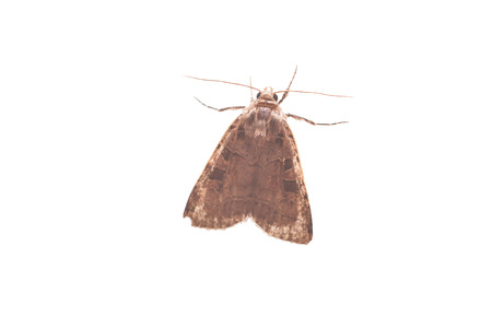 moth: Moth isolated on white background