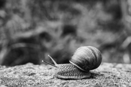 Black and white art photography monochrome, snail slides on a wooden surface. Animal. Invertebrates crawling. Shellfish, Gastropoda. Gastropod mollusk with a spiral shell. Spiral sink