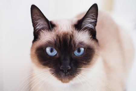 Grey Siamese cat with blue eyes close-up. Cats face Stock Photo