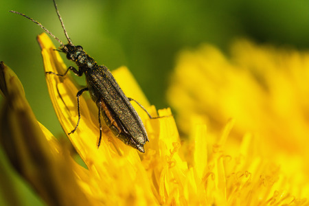 click beetle: Black beetle sitting on a yellow flower. Macro photo. Dandelion