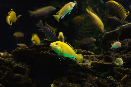 fish tank: Colored fish swimming in an aquarium. Sea creatures. Abstract background