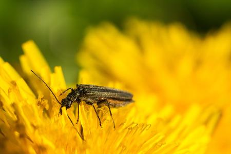 long horn beetle: Black beetle sitting on a yellow flower. Macro photo. Dandelion
