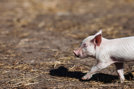 ファームの豚。小さな子豚。世帯。素敵なペット 写真素材