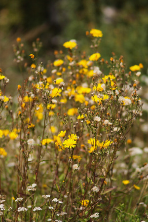 Beautiful summer yellow flowers in the sunlight. wild nature