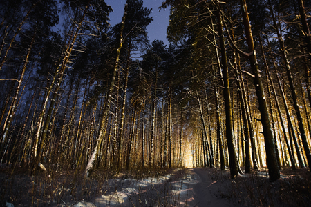 Pine trees in the snow in the forest with a warm glow.
