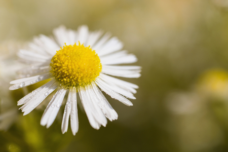 Chamomile with dew. White summer flower with drops of water on a yellow background in the flowerbed. Greeting card. Beautiful natural template