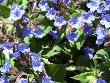 pulmonaria: blue lungwort in the forest