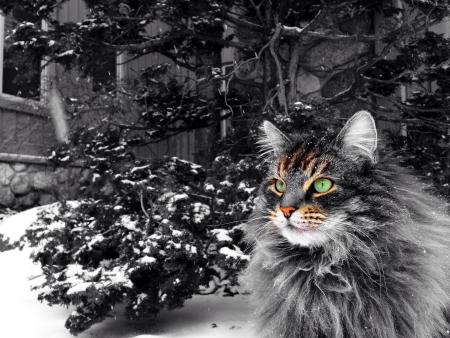 maine coon: Eine Maine Coon Katze im Winter.