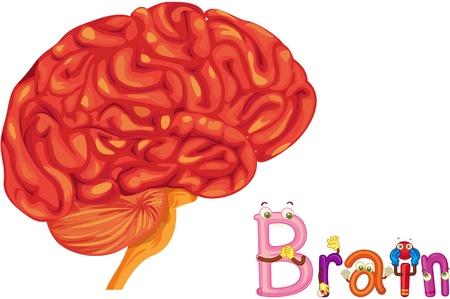 animal body part: illustration of brain on white Illustration