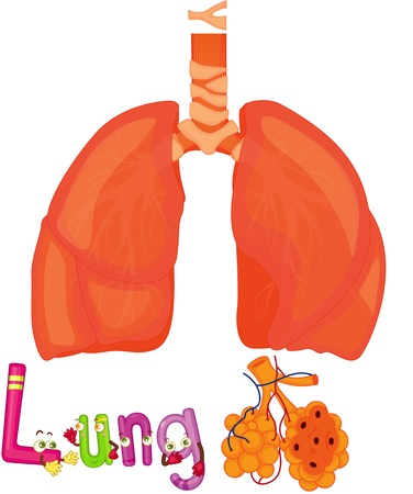 human internal organ: illustration of lungs on white