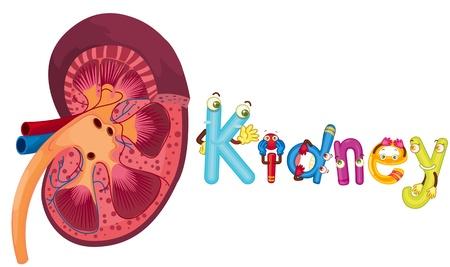 organi interni: illustrazione di rene su bianco