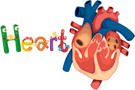 cartoon human: illustration of heart on white