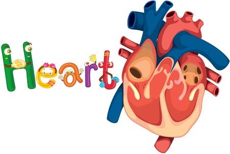 muscular organ: illustration of heart on white