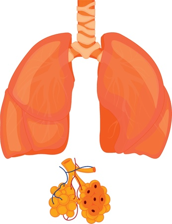 spongy: illustration of lungs on white