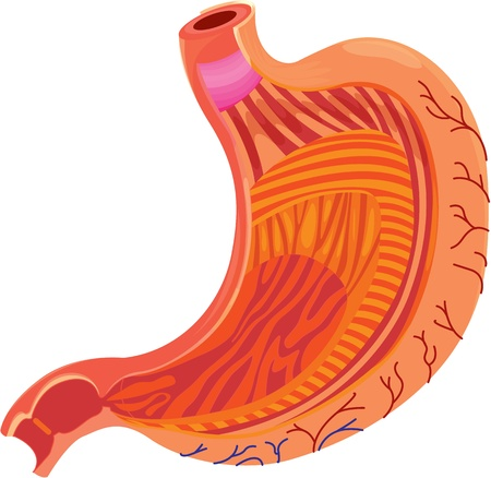 human internal organ: illustration of stomach on white Illustration