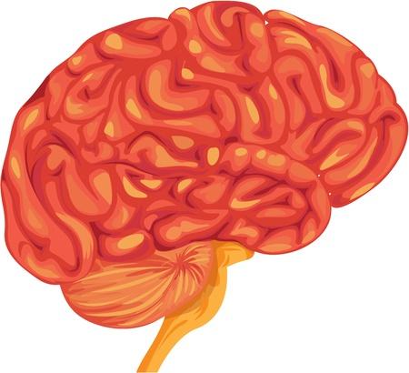 organi interni: illustrazione del cervello su bianco