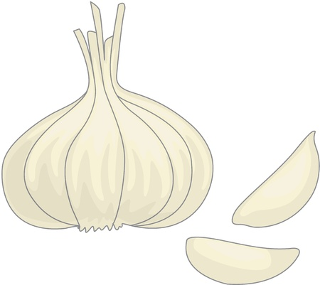 root vegetables: illustration of garlic one white