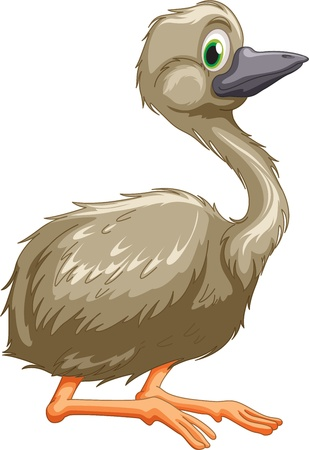 flightless bird: Illustration of isolated emu bird Illustration