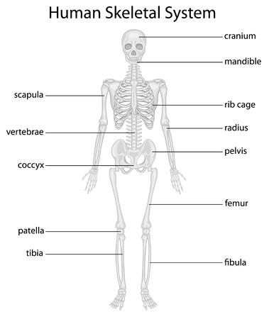 scheletro umano: Illustrazione del sistema scheletrico con etichette