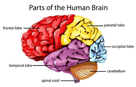 medical study: Illustrazione di parti del cervello