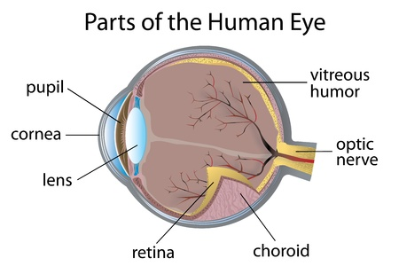 vitreous: Illustration of parts of the human eye