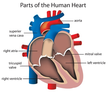 ventricle: Illustration of parts of the heart