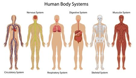 anatomie mens: Illustratie van het menselijk lichaam systemen