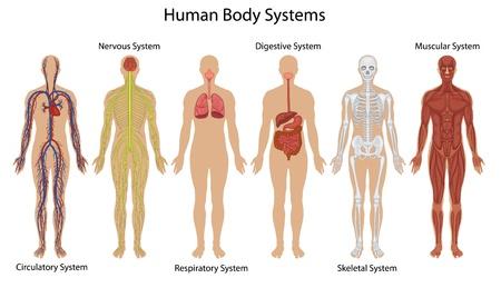esqueleto humano: Ilustración de los sistemas del cuerpo humano