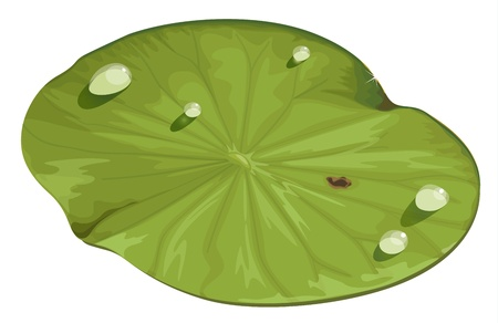 lily pad: Illustration of a lotus leaf