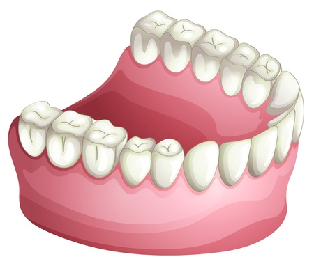 artificial teeth: illustration of denture on a white background