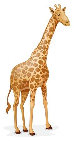 cuello largo: Ilustraci�n de una jirafa en un fondo blanco Vectores