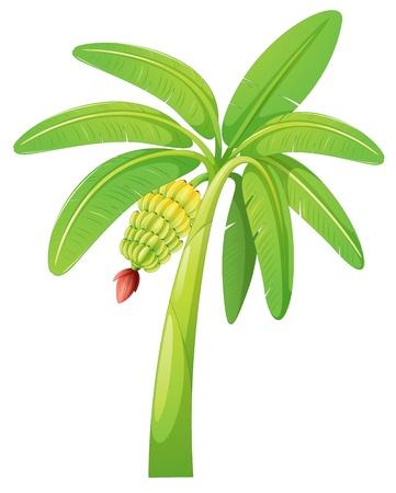 banane: illustration de bananier sur un fond blanc