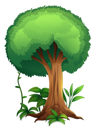 tall tree: illustration of a tree on a white background