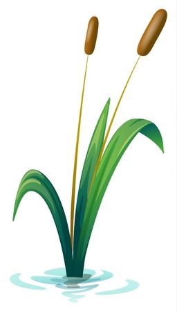 rietkraag: Illustratie van een plant op een witte achtergrond