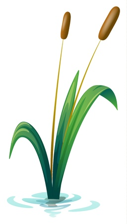 reeds: Illustration of a plant on a white background Illustration